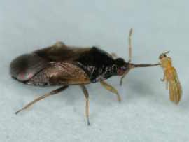 いろいろな天敵|天敵昆虫学研究...