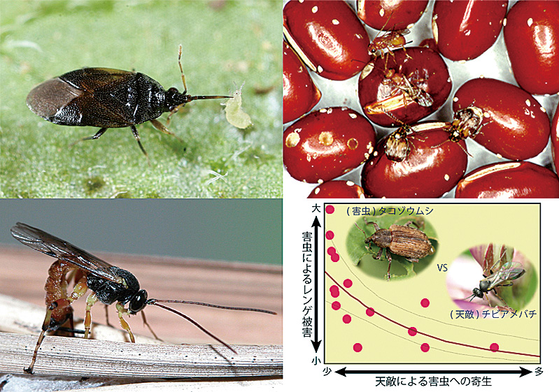 Insect Natural Enemies
